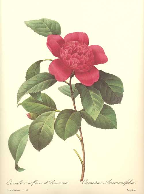 Redoute botanical illustration. Crimson Red Camelia. Anemone-flowered Camellia.