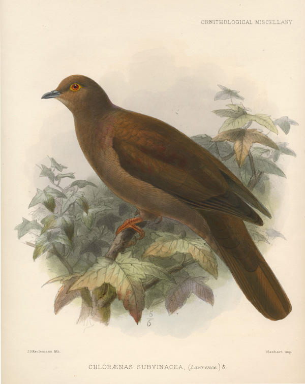 Chloraenas subuinacea. Ruddy Pigeon of Cost Rica, Keulemans lithograph c1877.