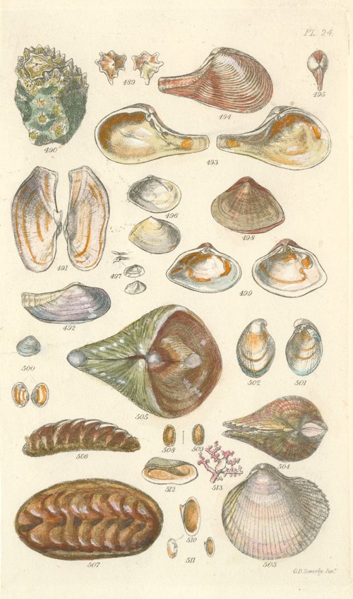 Small delicate Shells engraving by Sowerby c1825.