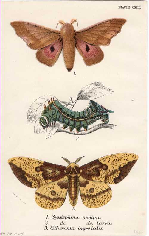 Lepidoptera. Syssisphinx Molina, Larva, Citheronia Imperialis Moth lithograph. c1897