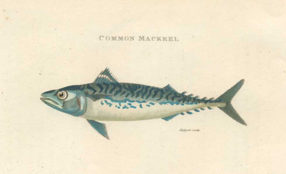 Fish. Not-so-Common Mackrel by George Shaw. Mackerel engraving c1808