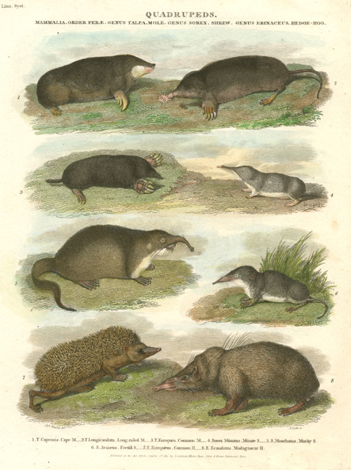 Quadruped ant-eaters. Moles, Shrews, Hedge-hog families antique print c1811