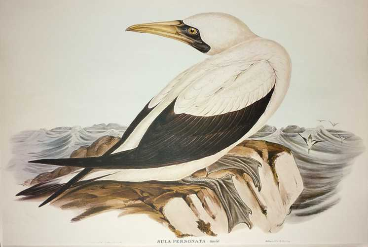 John Gould Australian Masked Gannet, Sula personata. Masked Booby print