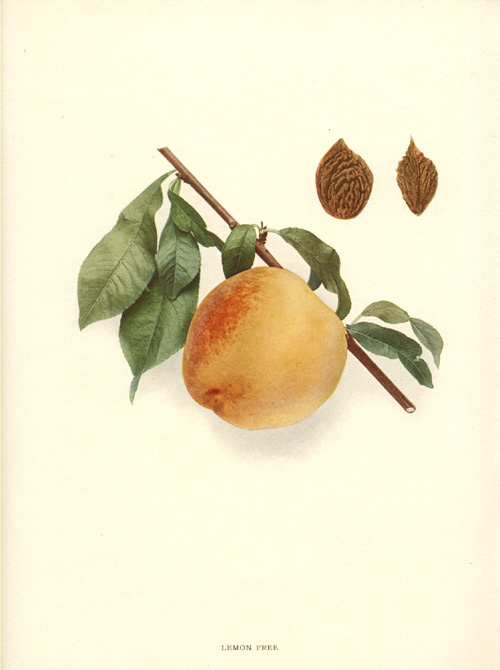 Lemon Free Peach and Seeds. Hendrick lithograph c1917.