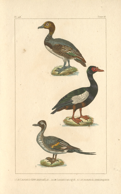 Widgeon, Musk Duck, Long-tailed Duck hand-coloured engravings. Lacepede c1836.