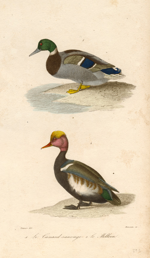 Finely hand-coloured & engraved Wild Duck & Milloin c1837.
