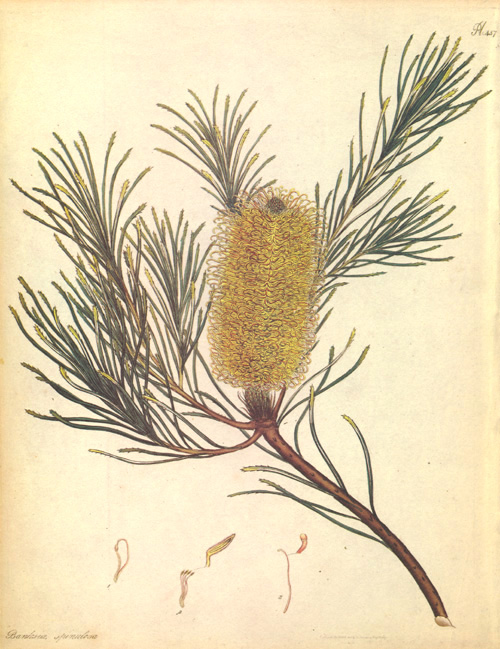 Australian Banksia Spinulosa. Banksia illustration by Henry Andrews