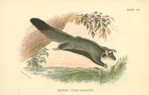 Squirrel Flying-Phalanger lithograph. Previously named Petaurus sciureus c1896