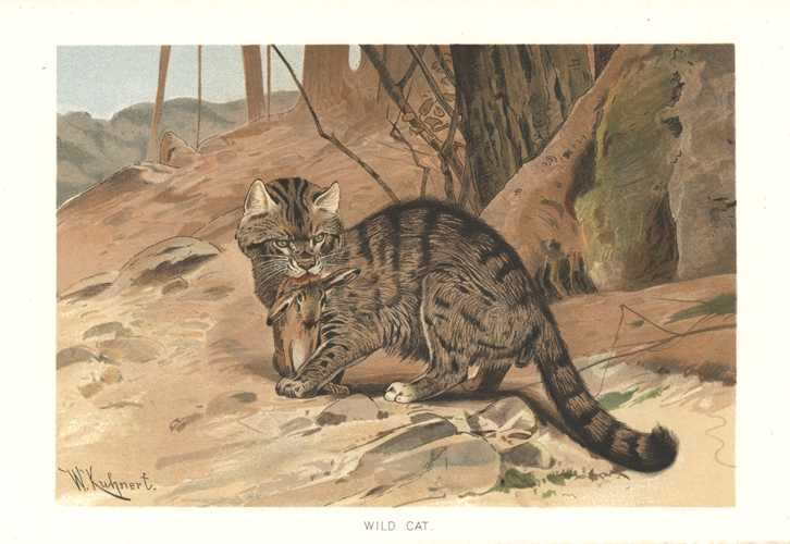 Kuhnert Wild Cat. Lydekker Royal Natural History lithograph c1896.