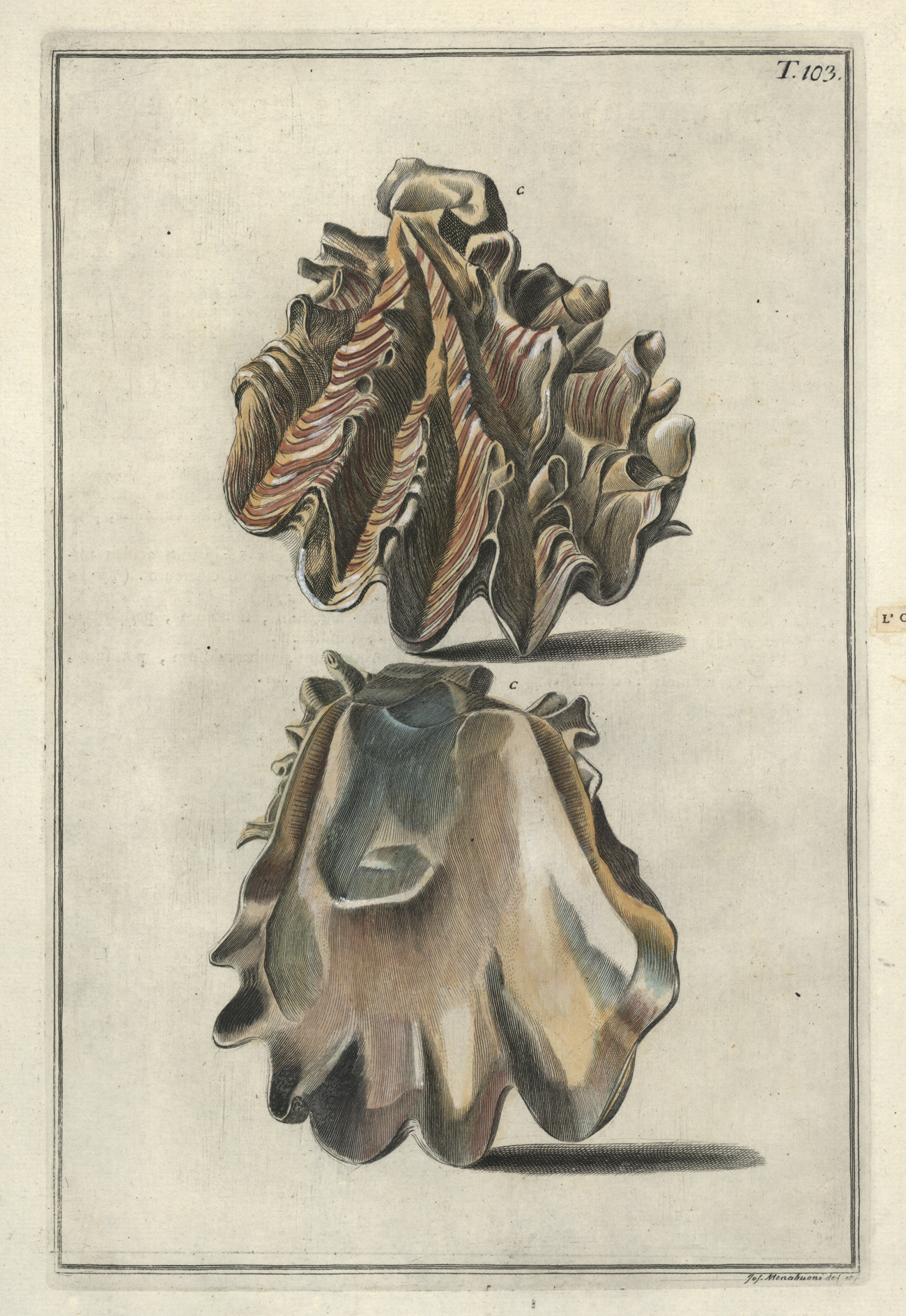 Gualtieri Antique Print of L'Oreille de Cochon Conchology c1742.