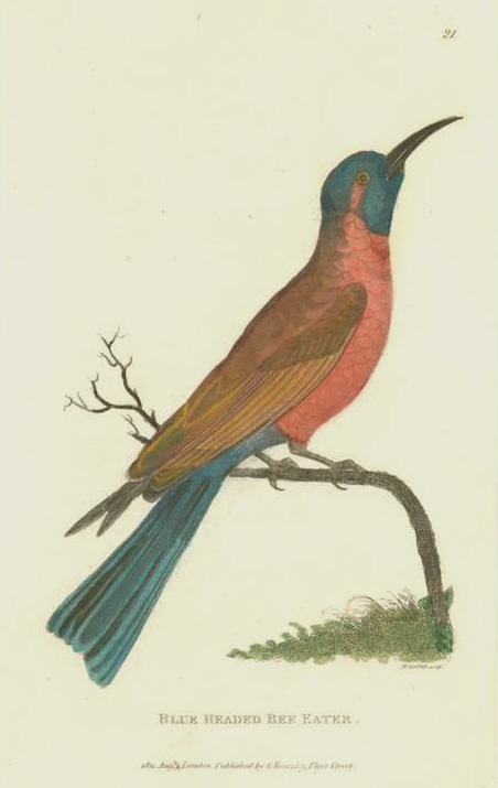George Shaw Blue-Headed Bee Eater original antique engraving c1808