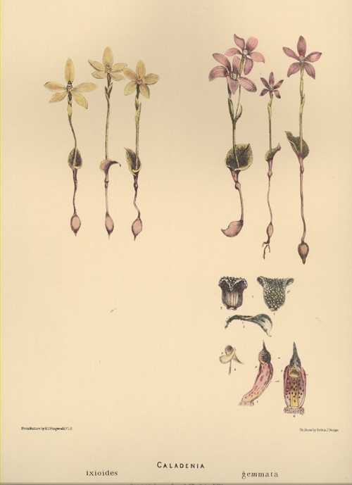 Limited Edition Australian orchid prints, Caladenia ixioides & gemmata. R.D. Fitzgerald