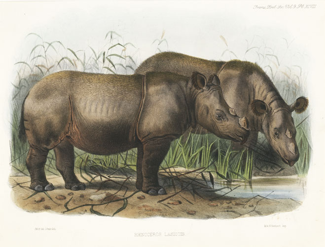 Rhinoceros Lasiotus, Philip Lutley Sclater lithograph c1876.