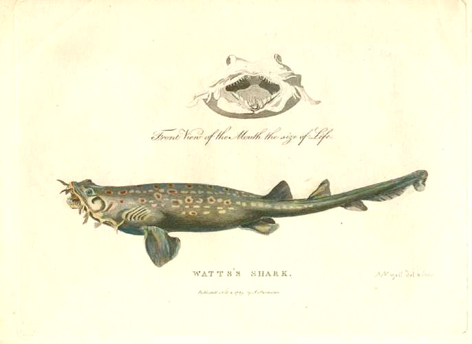 Shark's Mouth front view. Watts's Shark. Spotted Wobbegong c1789.