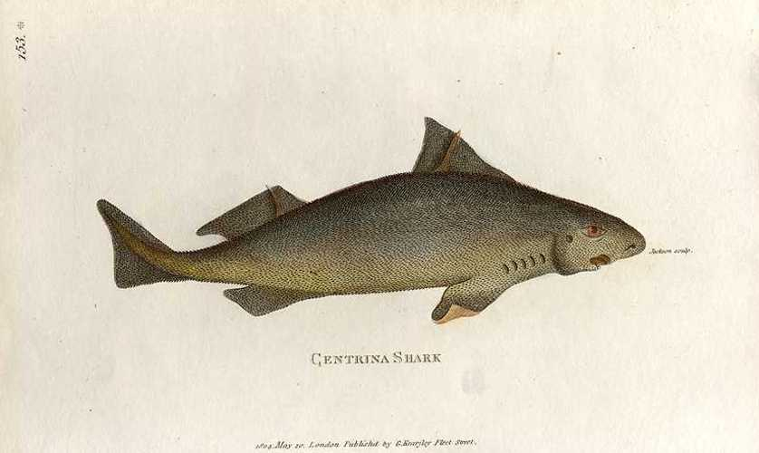 Shark: Gentrina engraving. George Shaw. Published G. Kearsley c1808