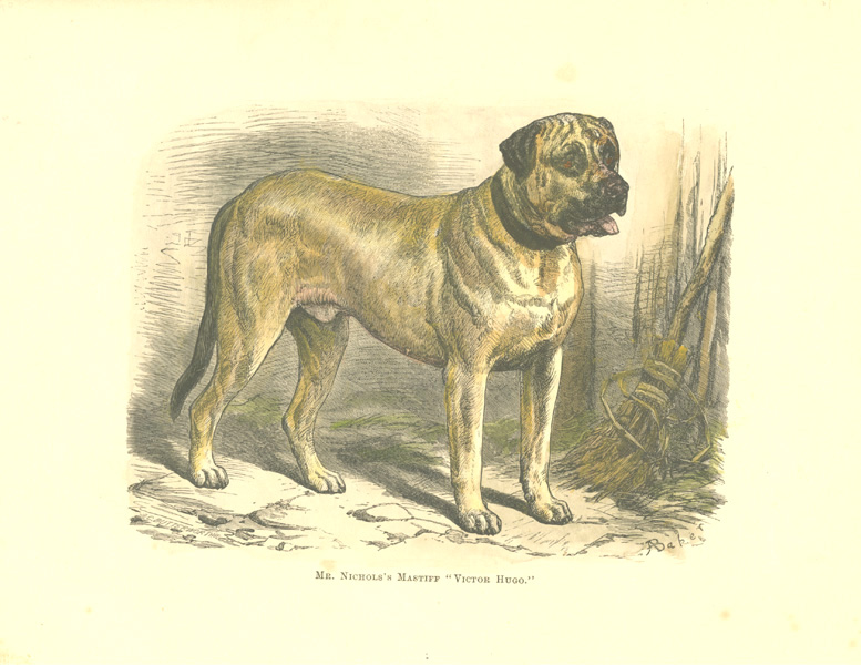 "Mr Nichols's Mastiff ""Victor Hugo"" antique print c1878."