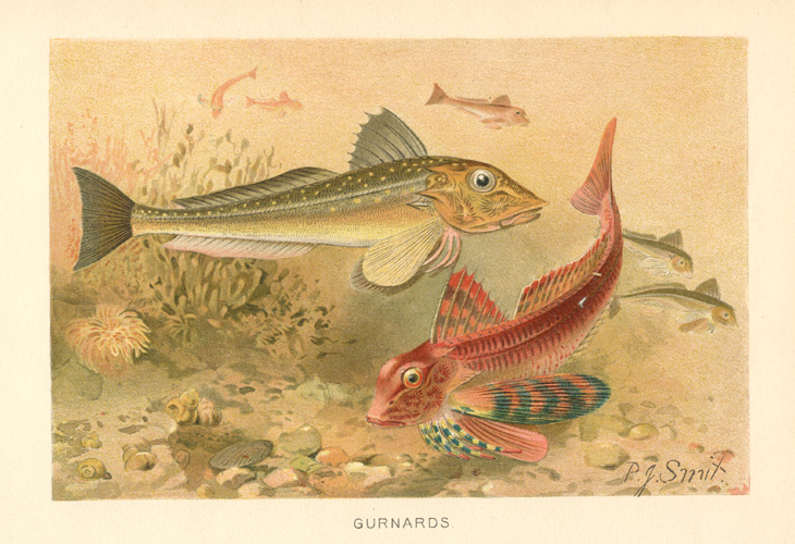 Gurnards antique print by P.J. Smit. Lithograph c1894.