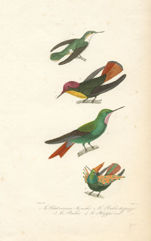 Colourful little Hummingbirds engraving by Corbié after Travies c1837