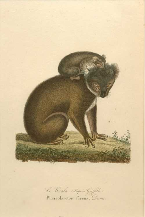 Australian Koala with Young. Phascolarctos Fuscus Antique Print c1840