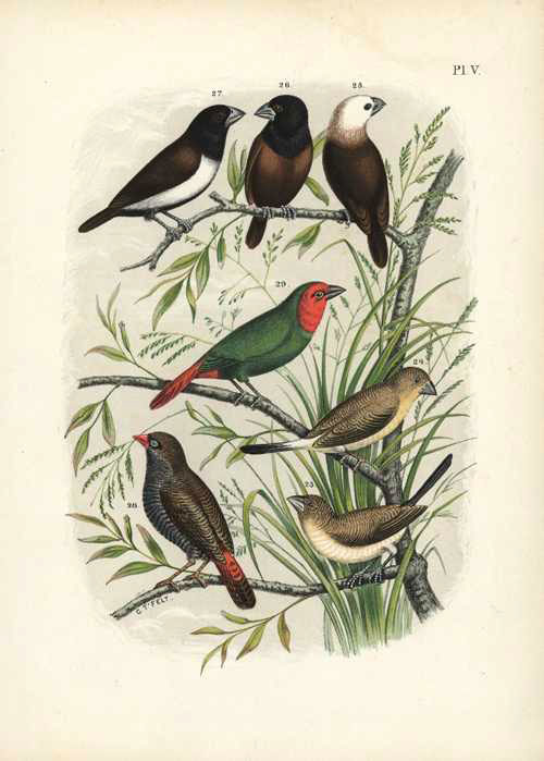 Nuyens: Birds including Finches by T' Felt for Nuyens. Lithograph c1882