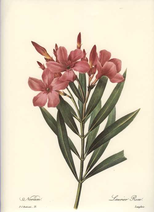 Redouté print of Oleander: Nerium or Laurier Rose.
