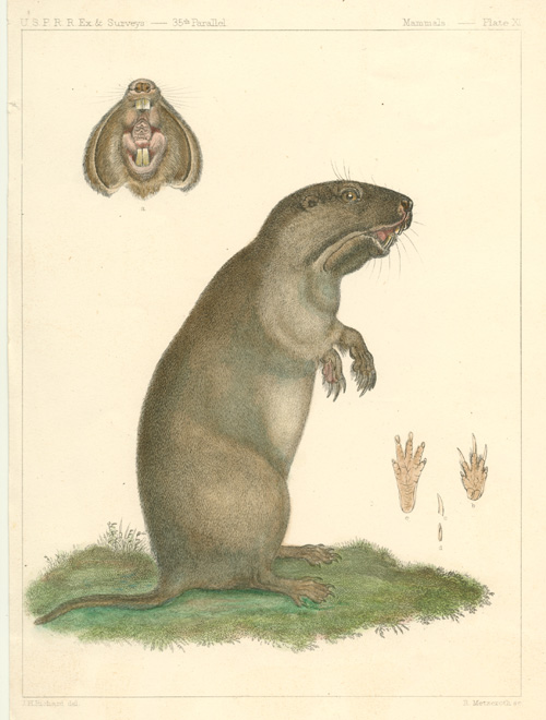 Muskrat? with teeth and paws, Antique print c1857.