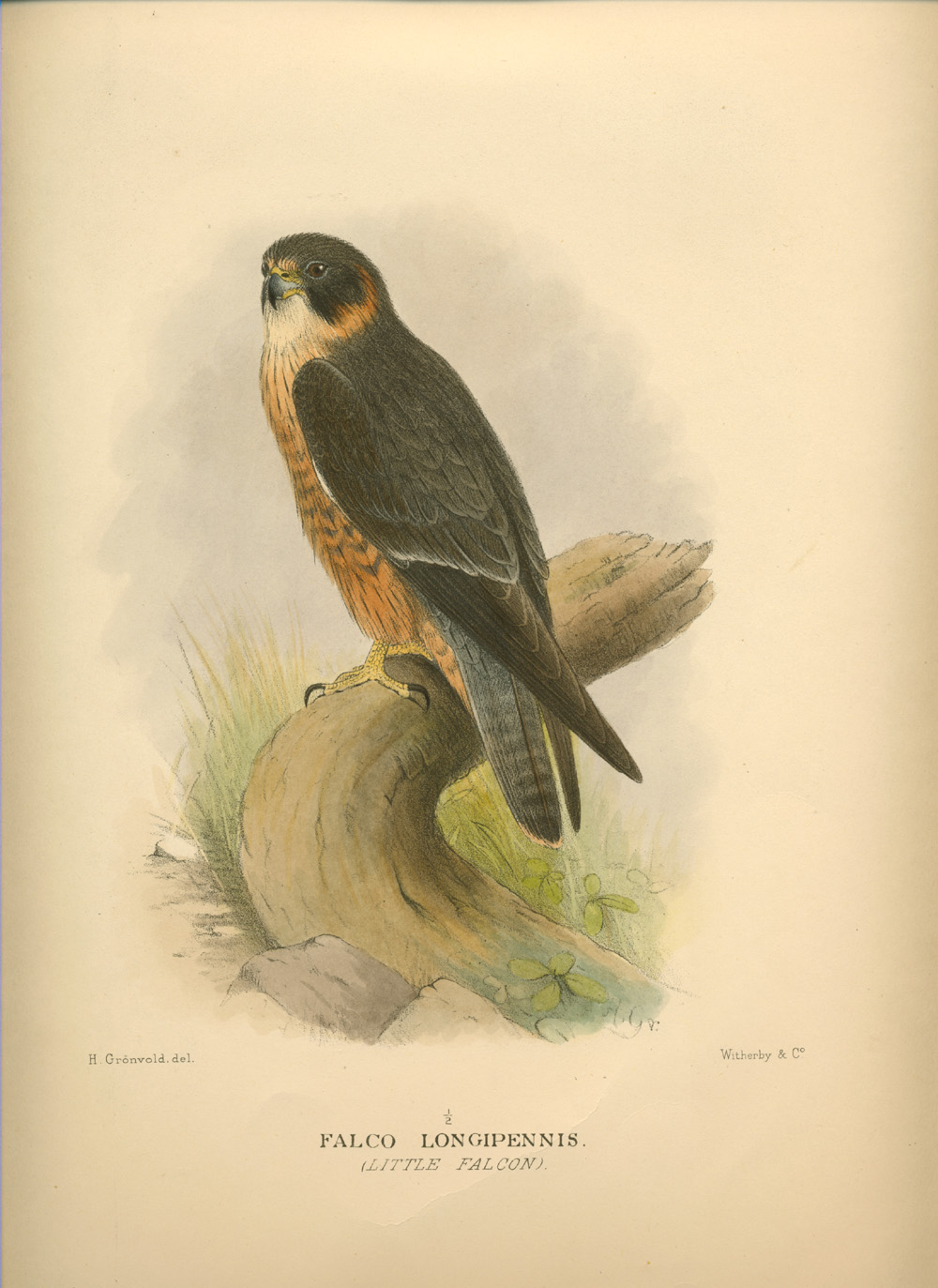 Little Falcon, Falco longipennis. Gregory Mathews' Birds of Australia c1910-27.