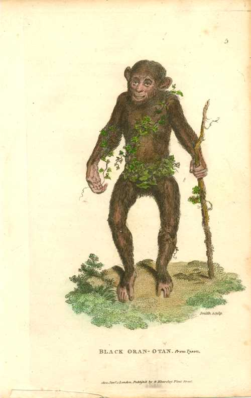 Orangutan Antique Print, Black Oran-otan. George Shaw c1800.