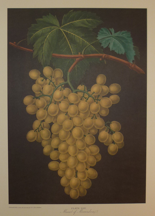 The Muscat of Alexandria large Grapes print. Brookshaw.
