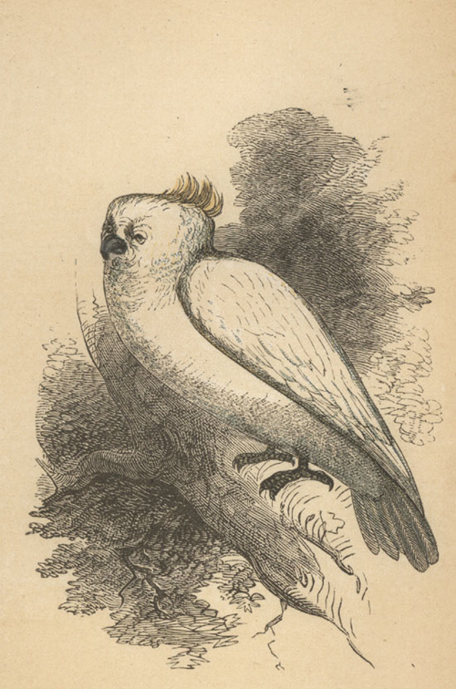 Sulphur-crested Cockatoo coloured engraving. Bicknell, c1859.