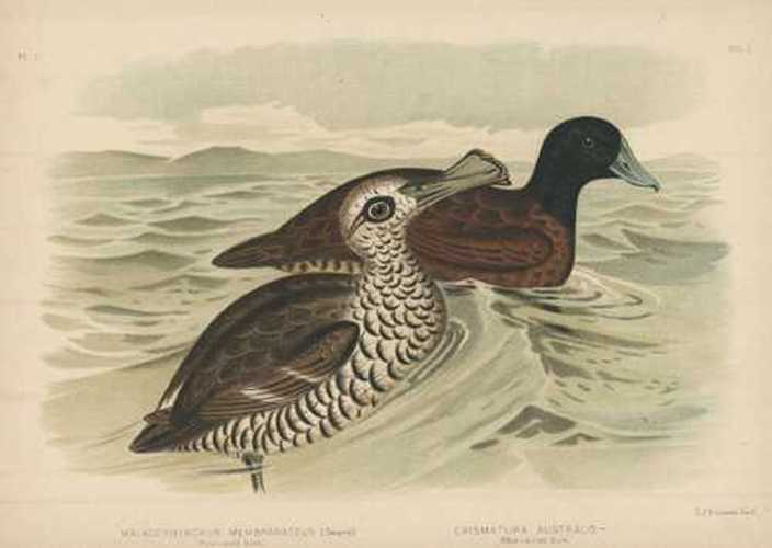Broinowski bird lithograph. Australian Pink-eyed Duck. Blue-billed Duck. c1890