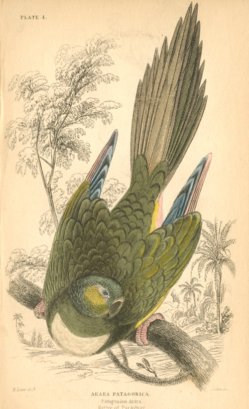 Edward Lear Arara Patagonica conure parrot. Engraving c1836.
