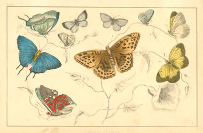 Delicately coloured antique print of butterflies. Goldsmith c1848.