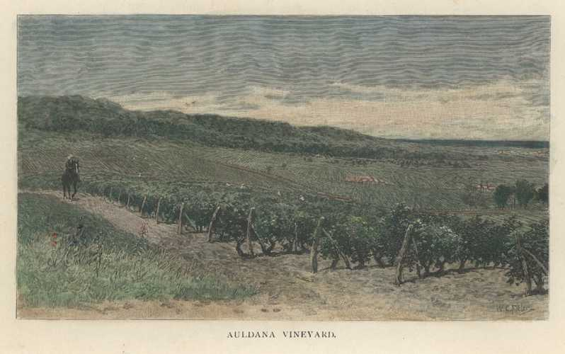 Wine-making. Auldana Vineyard. Penfolds winery. Antique Print c1886.