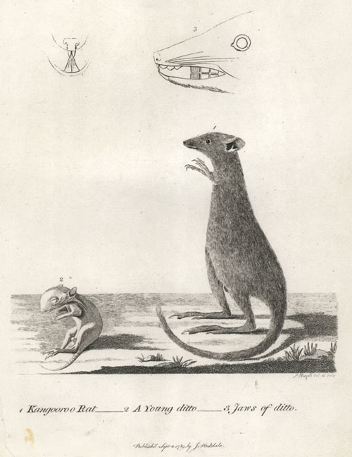 Kangooroo Rat, Young & Jaws of Kangaroo. Phillip's Voyage. Stockdale, c1798.