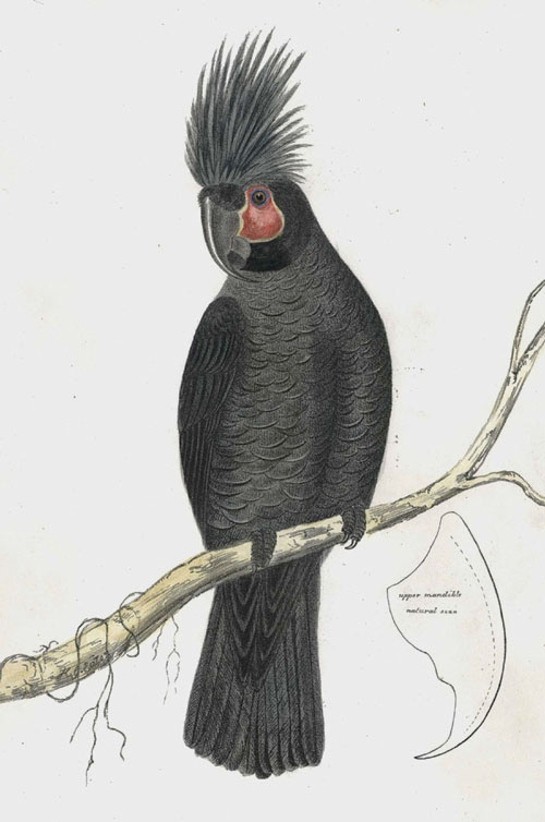 Microglossus aterrimus. Great Palm Cockatoo. Diggles Ornithology of Australia c1865