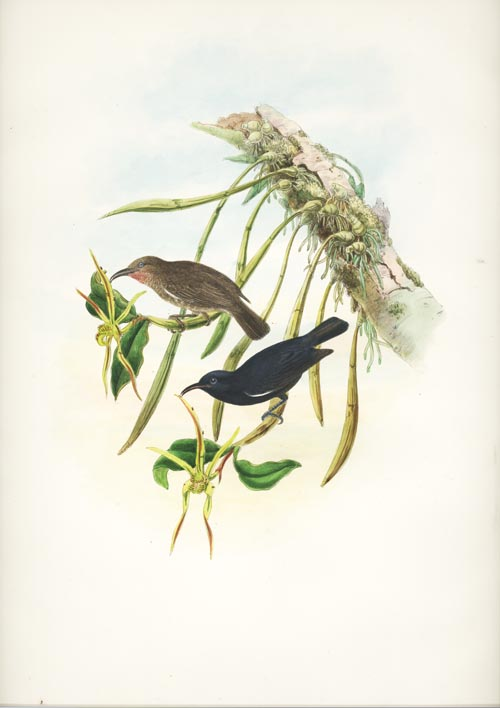 John Gould lithograph, Black Honeyeaters with Orchids c1880
