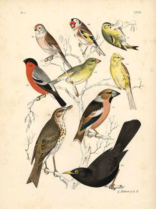 Half-price antique chromolithograph of Birds. Nuyens c1886