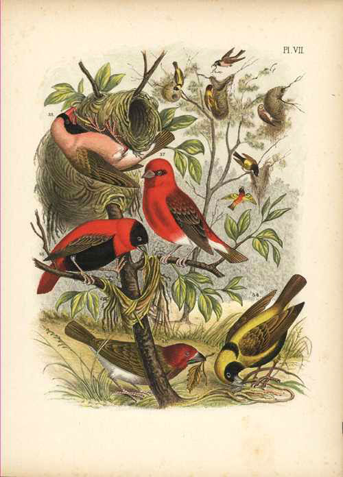 Nuyens. Finches with nest. Lithograph c1882 by T'Felt for Nuyens