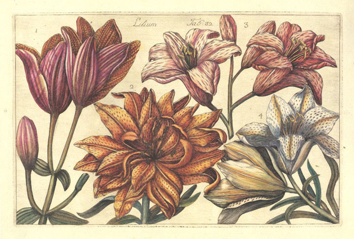 Filippo Arena Lilium. Heritage Editions Print of Lilies.