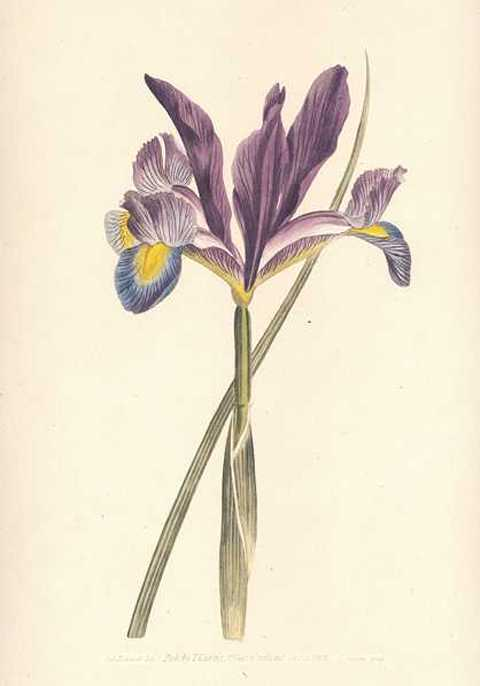 Heritage Editions Spanish Flag Iris Xiphiam Curtis print.