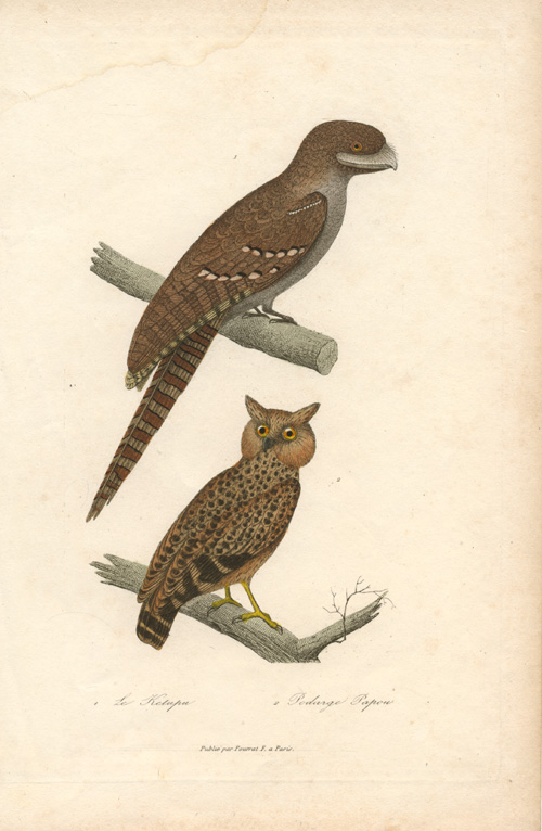 Papuan Frogmouth and south-east Asia Fish Owl. engraving c1836.