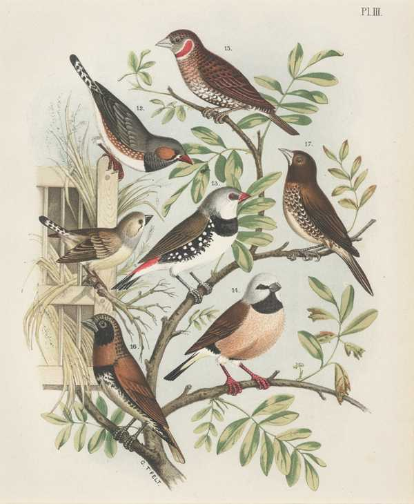 Nuyens: Finches antique lithograph c1882 by G.T. Felt