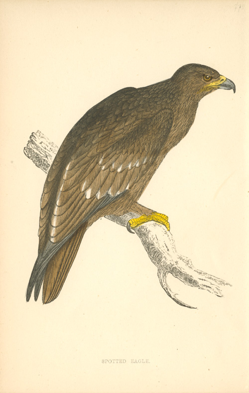 Spotted Eagle antique print. Benjamin Fawcett woodblock c1857.