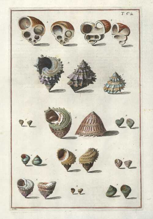 Interesting Cone Shells with cross-sections. Gualtieri Conchology engraving 62, antique print c1742