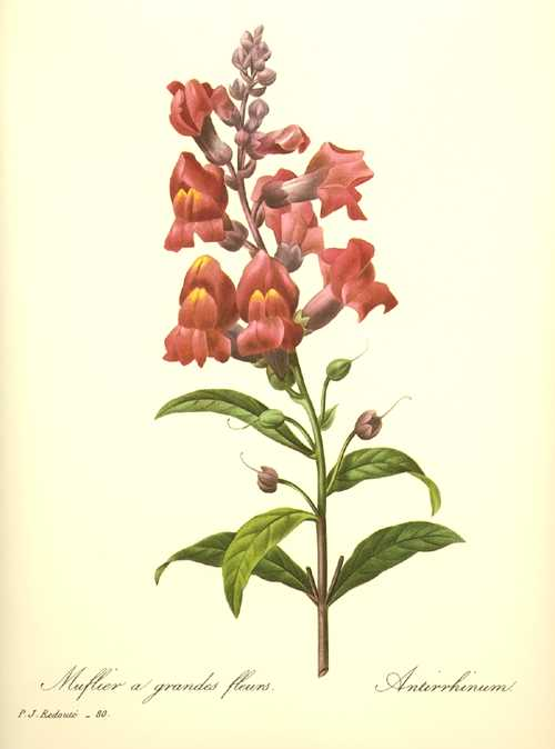 Redoute botanical illustration. Antirrhinum. Red Snapdragons. Muflier.