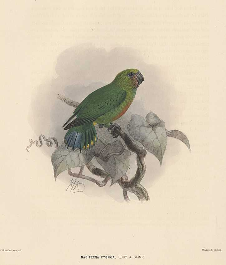 Keulemans Pygmy Parrot antique print. Nasiterna Pygmea hand-coloured lithograph c1875