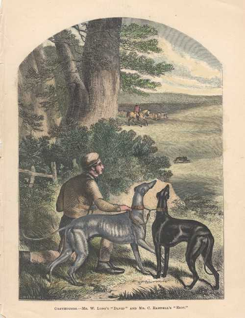 Greyhound dogs antique engraving by Butterworth & Heath. Field Sports c1878.