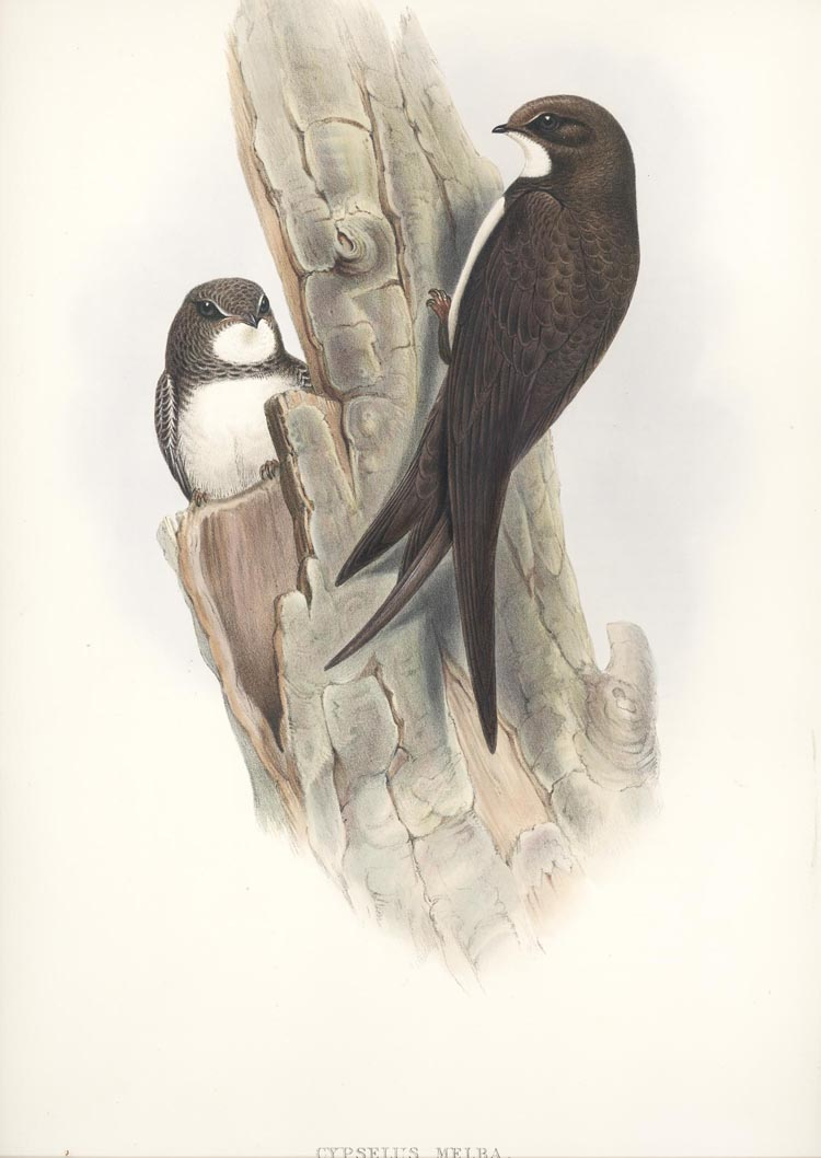 Cypsellus Melba, John Gould Alpine Swift, Birds of Great Britain c1865.