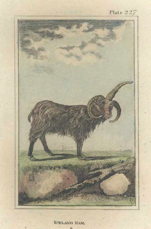 Buffon, Iceland Ram antique print c1788.